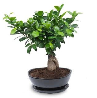 Ginseng bonsai ağacı özel ithal ürün  Ankara hediye sevgilime hediye çiçek