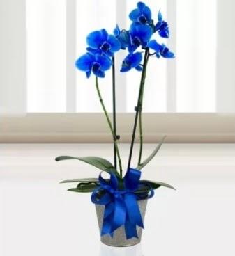 Çift dallı mavi orkide  Ankara çiçek , çiçekçi , çiçekçilik