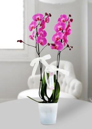 Çift dallı mor orkide  Ankara çiçek online çiçek siparişi