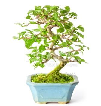 S zerkova bonsai kısa süreliğine  Ankarada çiçek gönderme sitemiz güvenlidir