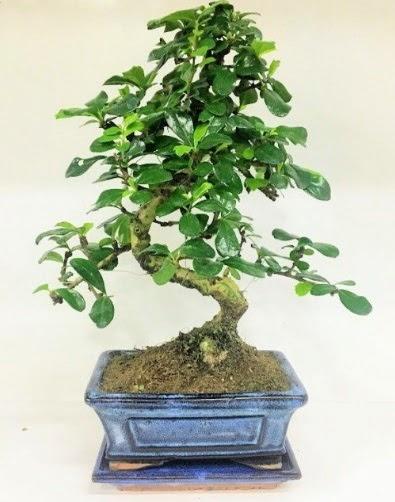 S Bonsai japon ağacı bitkisi  Ankara online çiçekçi , çiçek siparişi