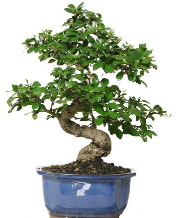 21 ile 25 cm arası özel S bonsai japon ağacı  Ankaraya çiçek yolla