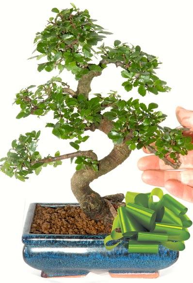 Yaklaşık 25 cm boyutlarında S bonsai  Ankara anneler günü çiçek yolla