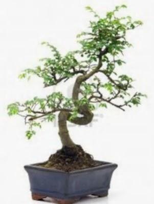 S gövde bonsai minyatür ağaç japon ağacı  Ankara çiçek , çiçekçi , çiçekçilik