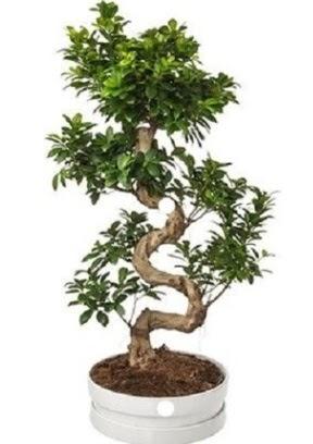 90 cm ile 100 cm civarı S peyzaj bonsai  Ankara İnternetten çiçek siparişi