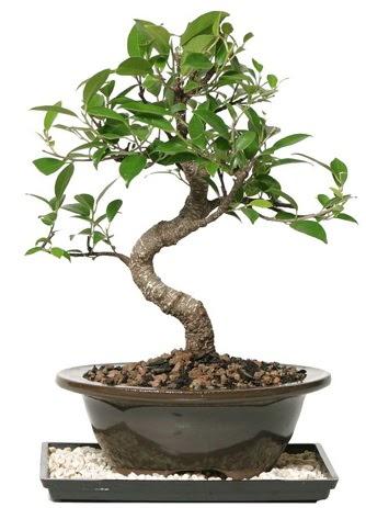 Altın kalite Ficus S bonsai  Ankaraya çiçek yolla  Süper Kalite