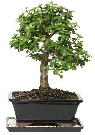 15 cm civarı Zerkova bonsai bitkisi  Ankara anneler günü çiçek yolla