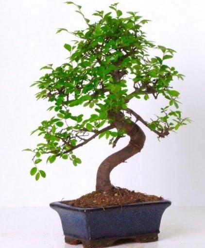 S gövdeli bonsai minyatür ağaç japon ağacı  Ankara İnternetten çiçek siparişi