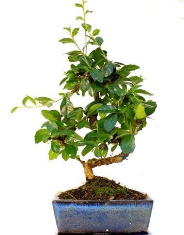 S gövdeli carmina bonsai ağacı  Ankara çiçek gönderme  Minyatür ağaç