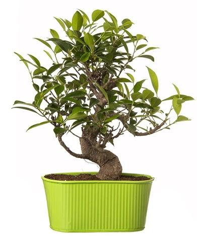 Ficus S gövdeli muhteşem bonsai  Ankara anneler günü çiçek yolla