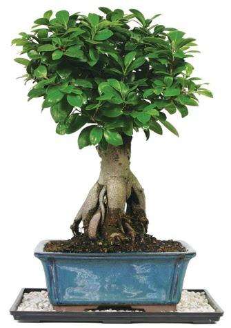 Bonsai Ginsing Grafted Ficus Bonsai  Ankara çiçek gönderme